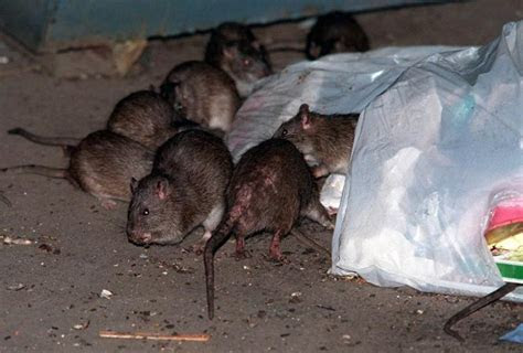 Rats in New York: What you need to know   NY Daily News