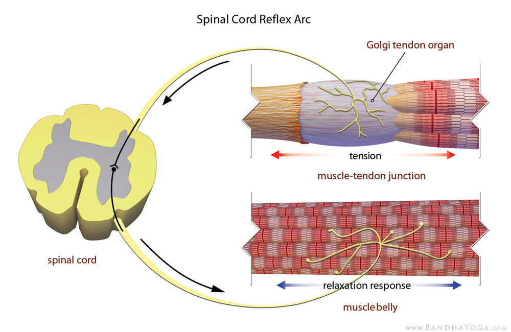 Golgi tendon organ spinal cord reflex arc