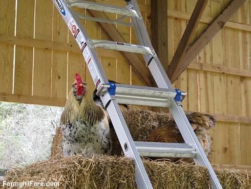 Rooster Andy (1) - FarmgirlFare.com