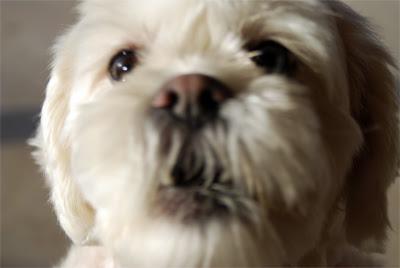 Pup-Scout-Oath