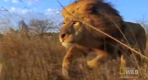 συγκλονιστικό-βίντεο-δείτε-τι-κάνει-ο-βασιλιάς-του-ζωικού-βασιλείου-για-να-διατηρήσει-το-στέμμα-του