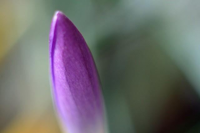 purple crocus bud