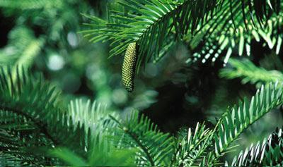 Wollemi Pine Photo