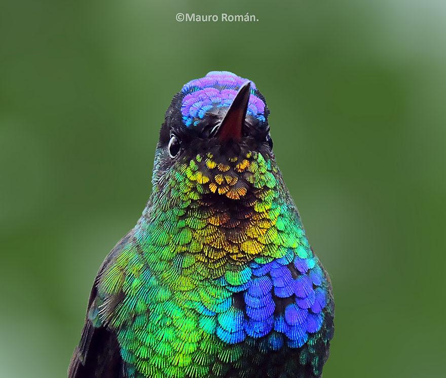 Fiery-throated Hummingbird by Mauro Roman