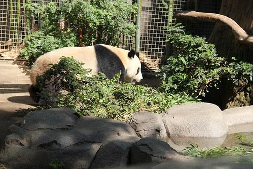 Panda walking around