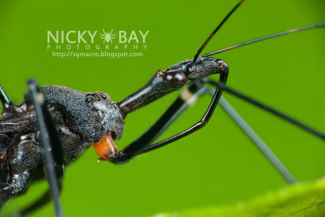 Assassin Bug (Reduviidae) - DSC_1327