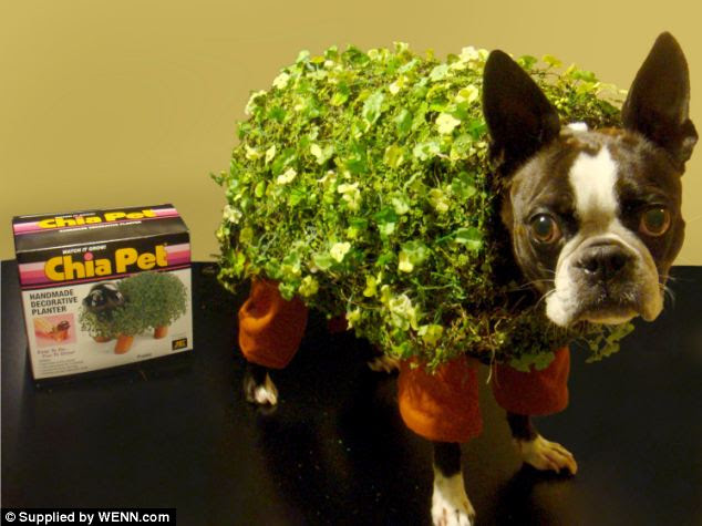 Bizarre: The dog is dressed in a plant/hedge themed fancy dress costume in one of its most surprising attires