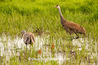 Sandhill Cranes with Chicks, Dane County, Wisconsin