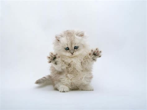 gambar kucing persia lucu  imut