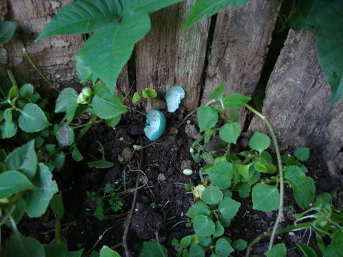 blue robin egg, hatched!