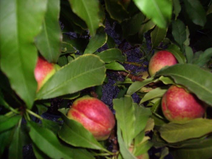 2006-08-18_nektarinen