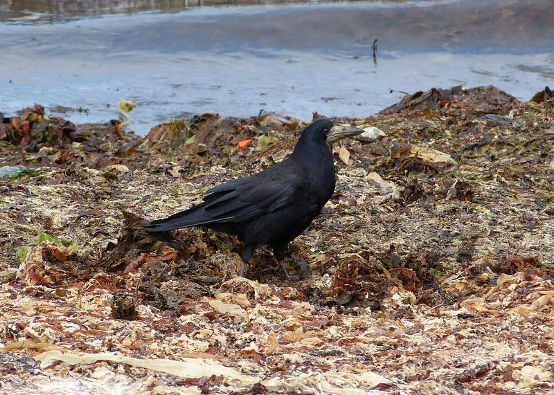 P1050558 - Rook, Isle of Mull