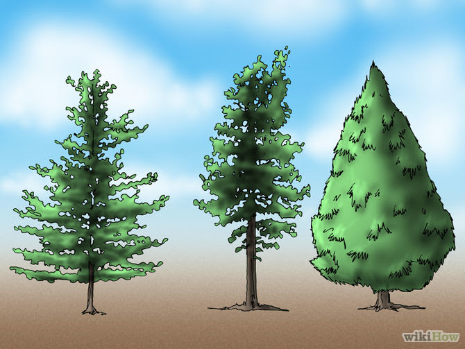 gambar pohon pinus gambar oz