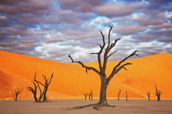 Dead Acacia tree (Acacia drepanolobium) Dead Vlei is an old saltpan named for its eerie dead appearance. Water was cut off when the flow of the Tsauchab River changed its course approximately 500 years ago. Sossusvlei in the Namib desert. Namib-Naukluft N