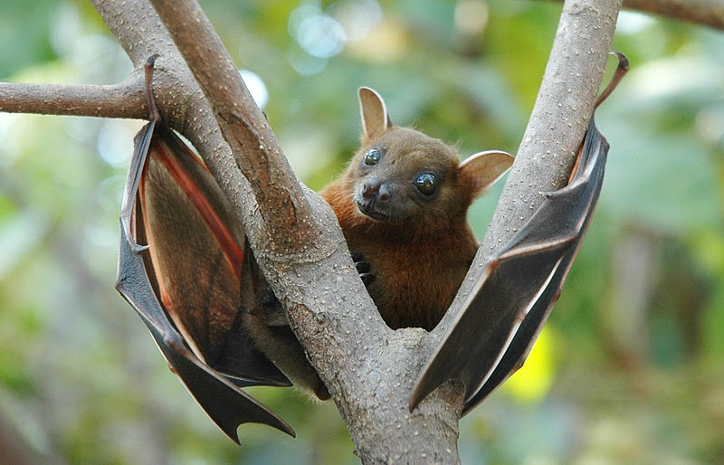 File:Lesser short-nosed fruit bat (Cynopterus brachyotis).jpg