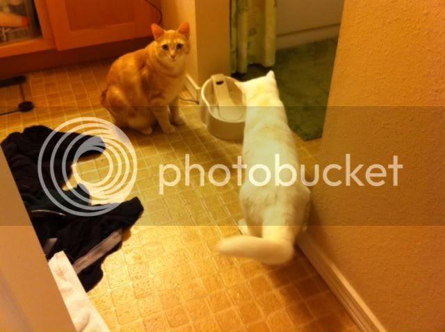Cats watching water fountain