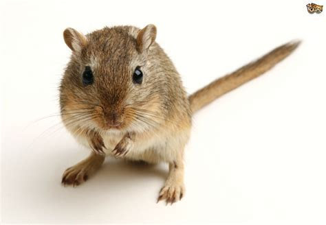 Everything you need to know about gerbils   Pets4Homes