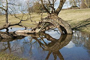 English: Twists and turns This old tree near t...