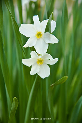 Daffodils, Buffalo National River Area, Newton County, Arkansas