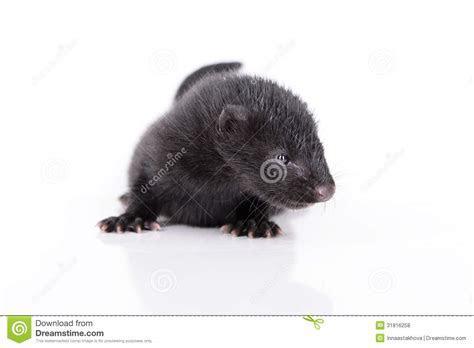 Black Animal Mink Royalty Free Stock Photos   Image: 31816258
