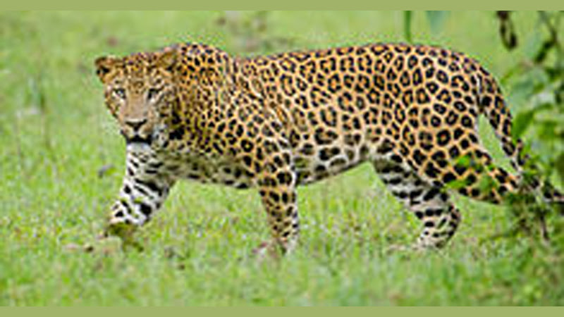Probe launched into leopard's death