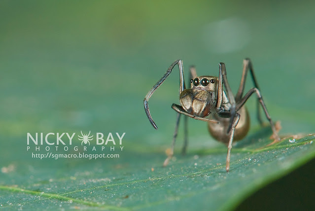 Ant-Mimic Jumping Spider (Salticidae) - DSC_6881
