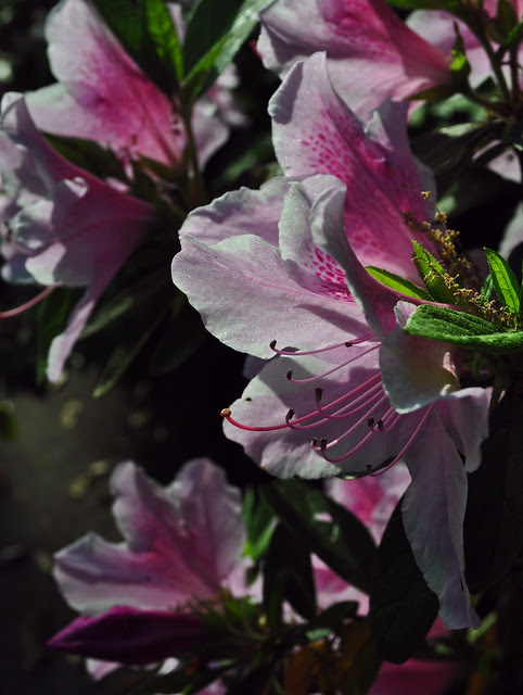 Rhododendron x 'George Tabor'