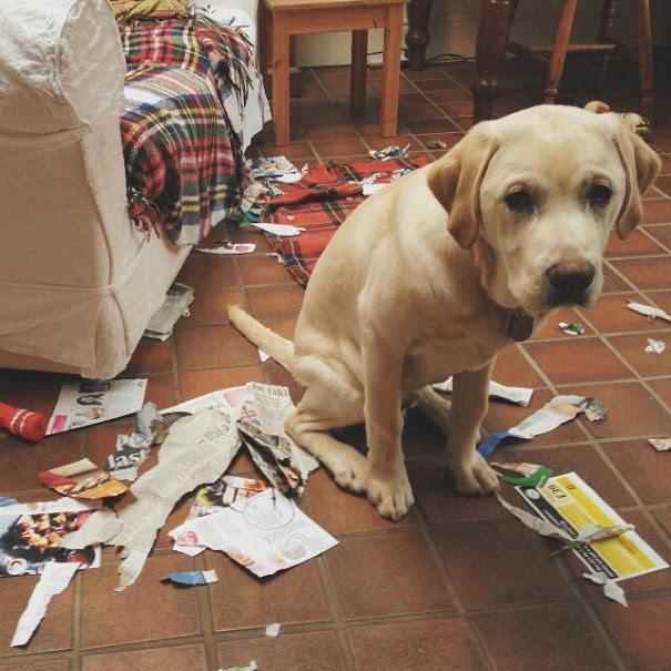 cachorro-envergonhado-22