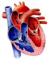 Aliran darah di jantung