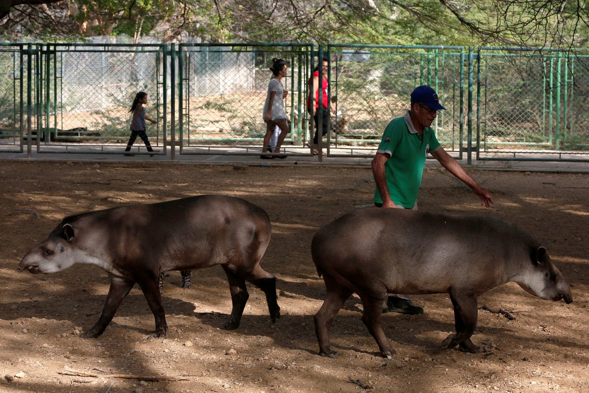 A number of Vietnamese pigs, rabbits, tapirs, and birds died at the Caricuao zoo after starving for two weeks.