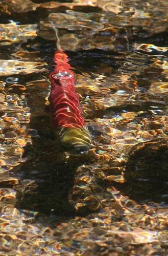 big-salmon