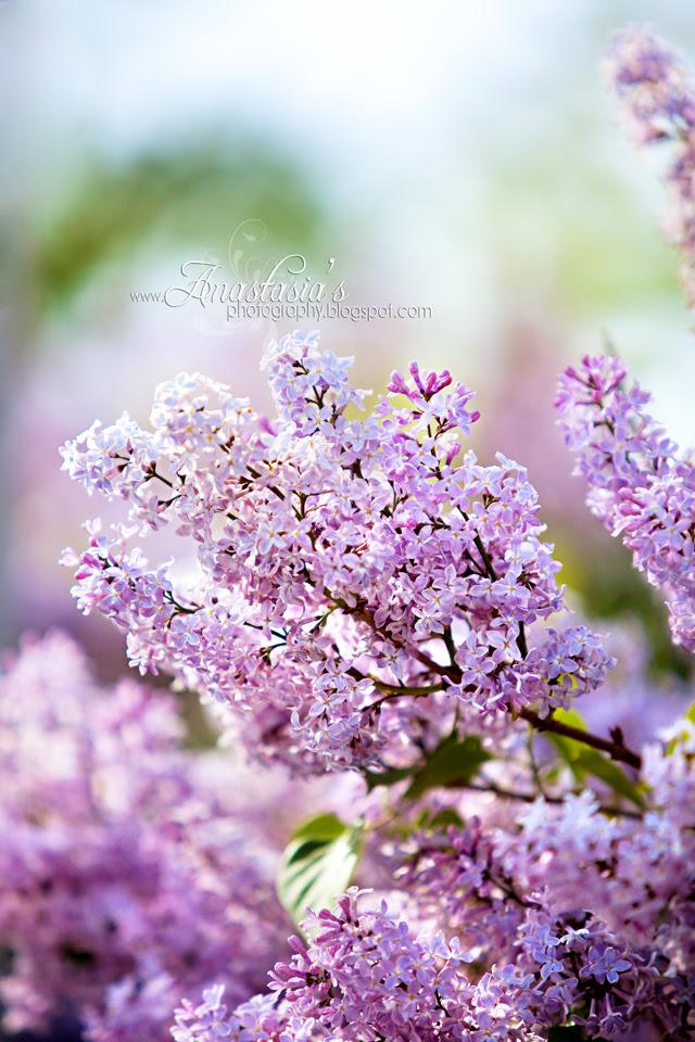 Golden lilacs