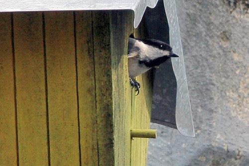 nesting chickadee