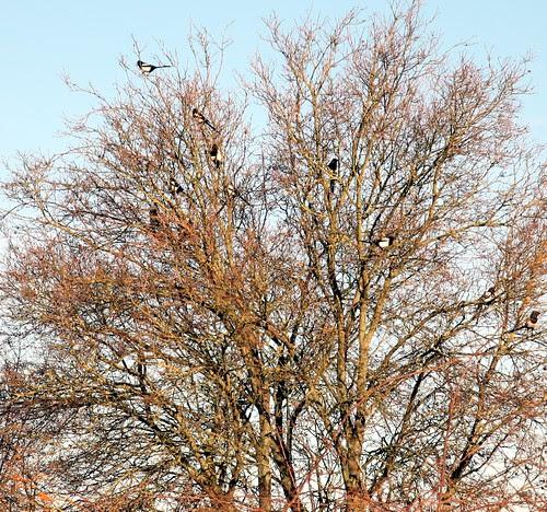 magpie invasion