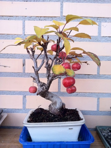 malus everest