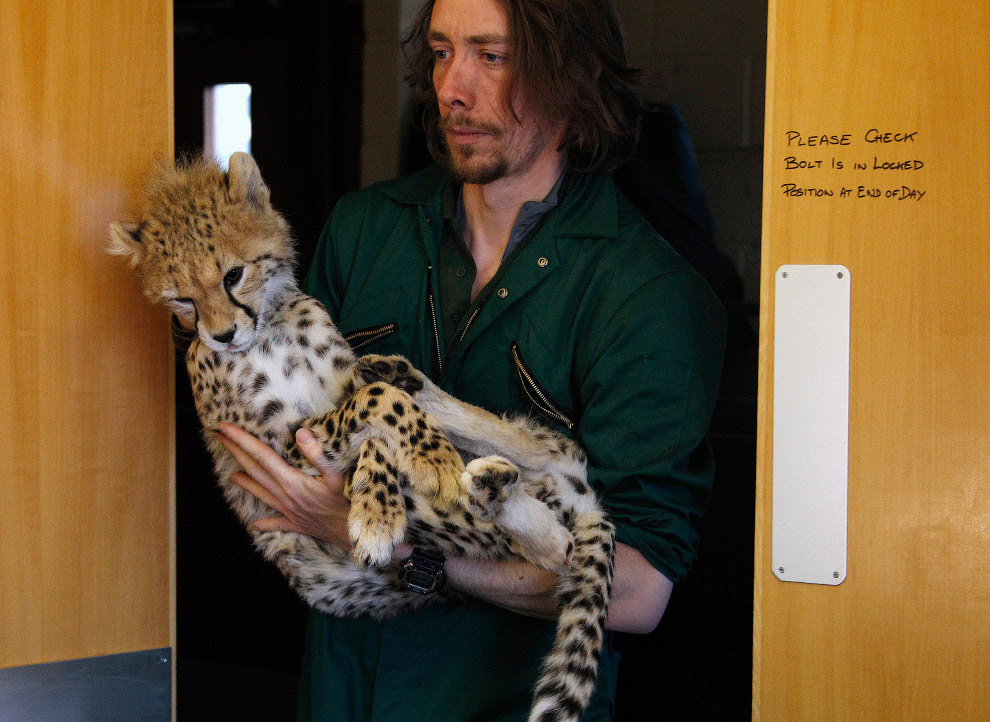 У маленького гепарда перелом правої гомілки, переніс операцію