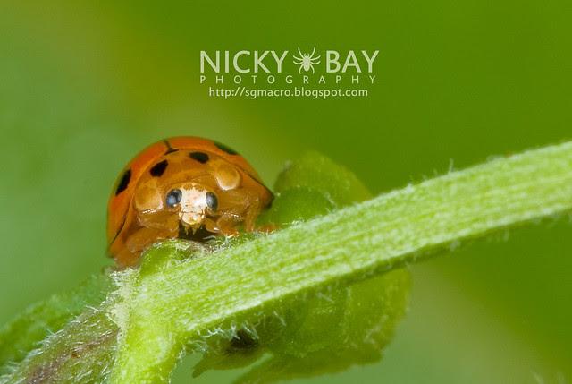 Ladybird (Coccinellidae) - DSC_7510