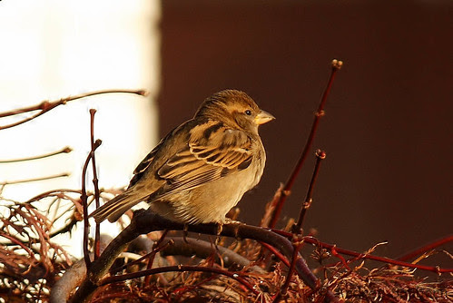 Connecticut sparrows  -36.jpg