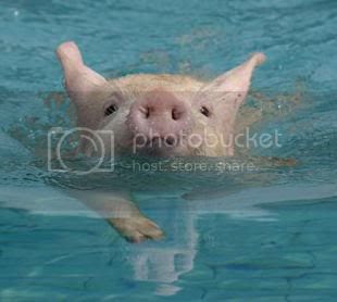 swimming pig Pictures, Images and Photos