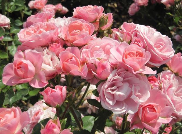 Rosas (Foto: Reprodução/Giuliana Flores)