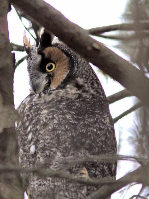 Long-eared Owl COREL 3-20121103