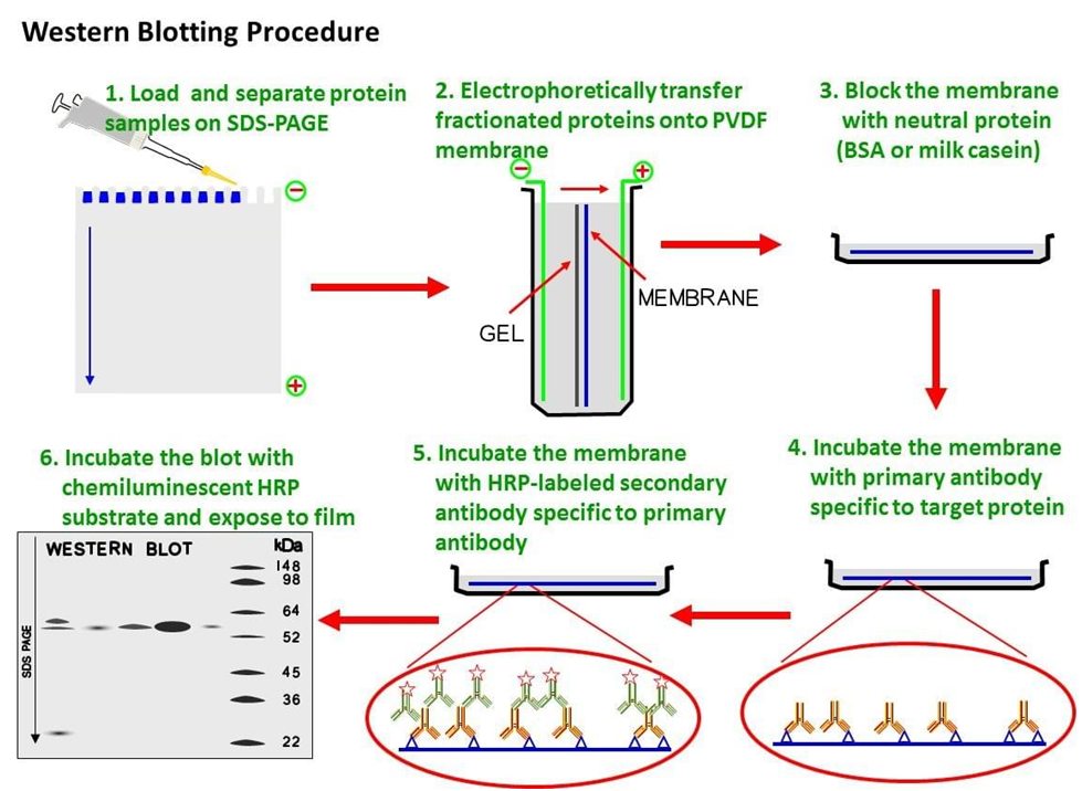 Western Blotting Technique Test Procedure