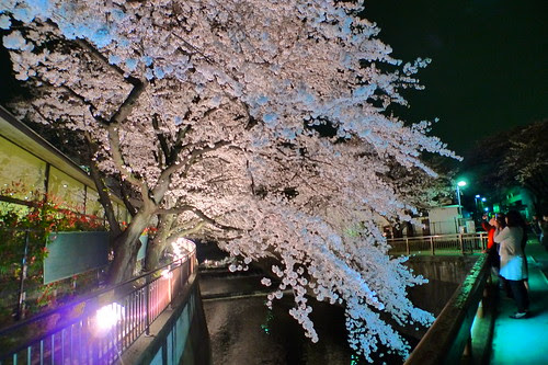 People taking photos of cherry blossom in Toho Studios