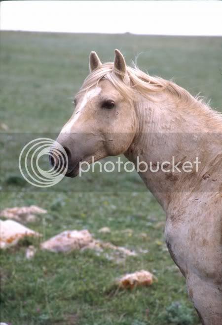 Wild horses CLOUD,BLM round-up