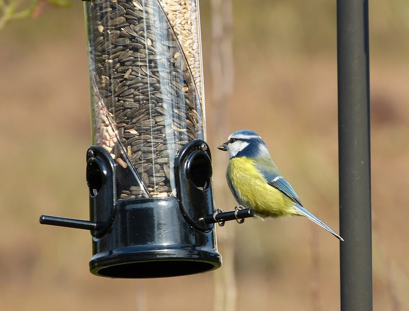 P1040576 - Blue Tit, Garden