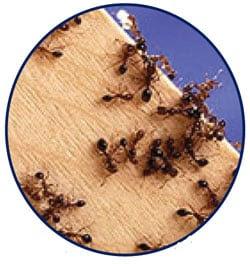 Hormigas rojas