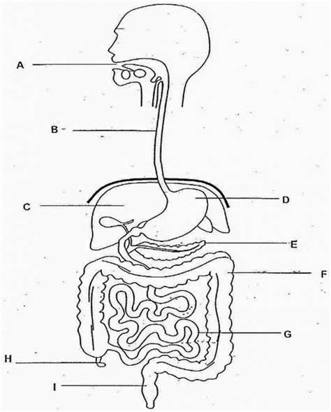 Human Body Diagram Unlabeled