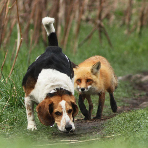 He's behind you! Meet the world's worst hunting dog. This beagle failed to spot the fox behind him. The dog had strayed too close to a den containing four fox cubs, but their protective parents stood their ground. Naturalist and photographer Mircea Costina captured the scene in a forest north of Montreal, Canada.Picture: Mircea Costina / Rex Features