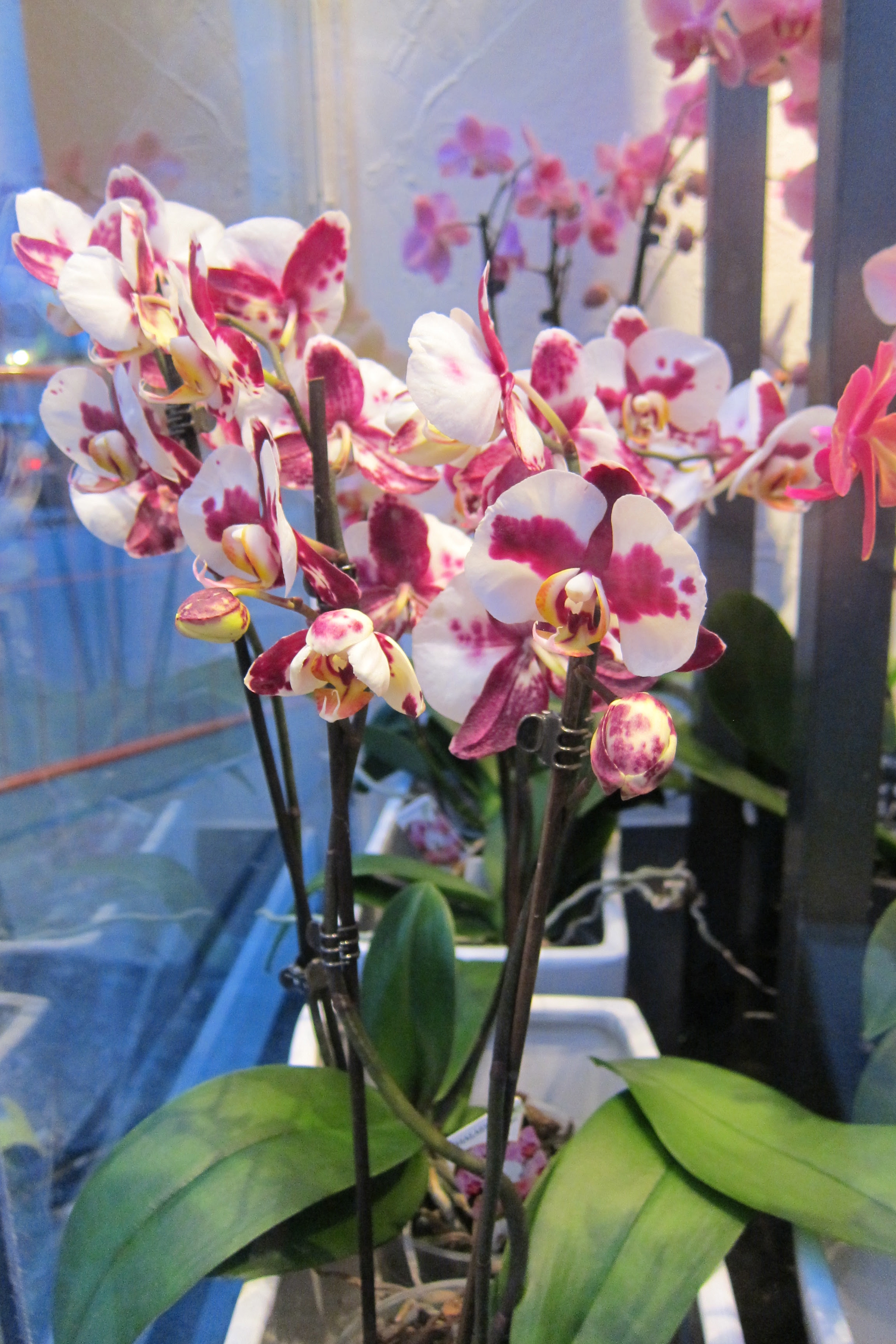 red and white phalaenopsis