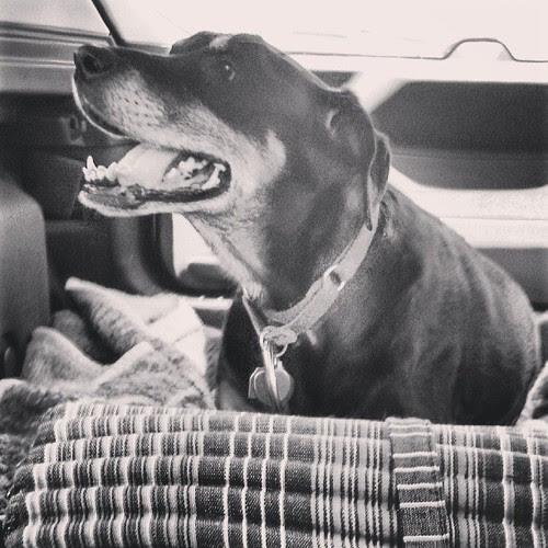 Happy Lola #dogstagram #happydog #carride #adoptdontshop #rescue #dobermanmix #smile